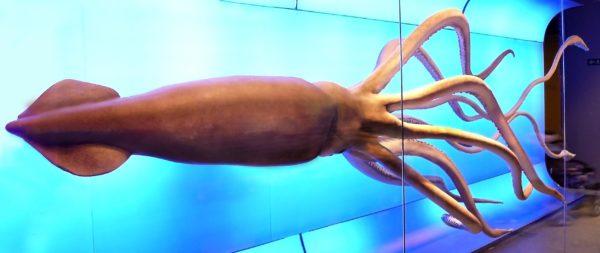 Огромный кальмар в национальном музее естествознания в Мадриде